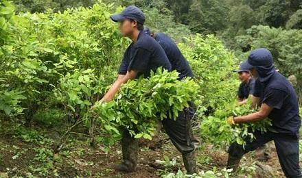 SANTA ALIANZA CONTRA LA DROGA. El gobierno de Colombia y las FARC sellan una alianza para la erradicación de los cultivos ilícitos