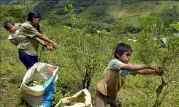 BOLIVIA AUMENTA LA EXTENSIÓN DE LAS PLANTACIONES DE COCA. Se aprueba la norma que lleva de 12.000 a 22.000 hectáreas el cultivo legal permitido