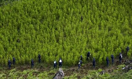 COCAÍNA. DÓNDE CRECE Y DÓNDE BAJA. América del Sur consume tanto como Estados Unidos. Pero Colombia, mientras espera al Papa, lanza programas para disminuir las plantaciones de coca