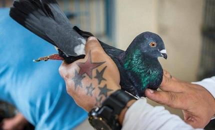 Un palomero con una paloma de su criadero (Desmond Boylan-AP)